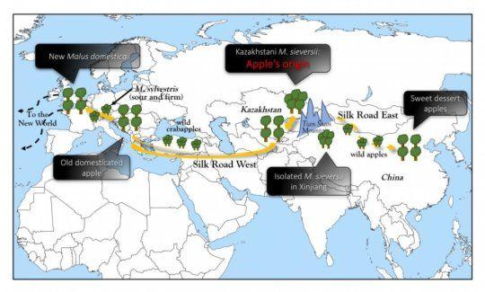 How the Silk Road Created the Modern Apple