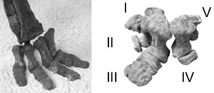 20110520083249ankylosaur-foot.jpg