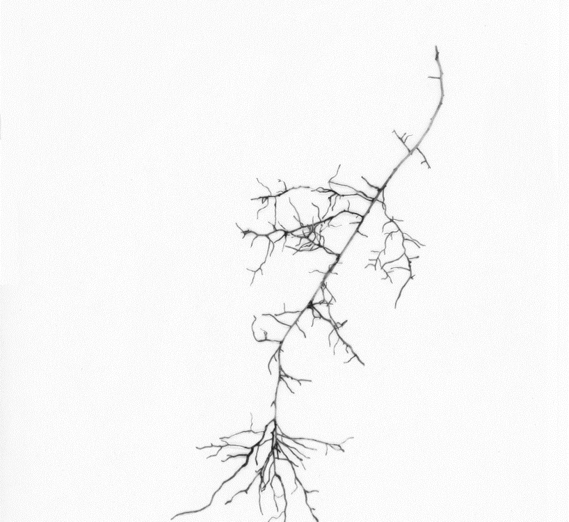 Scanned roots of a white ash (Fraxinus americana) from the Big Woods Plot, Michigan.
