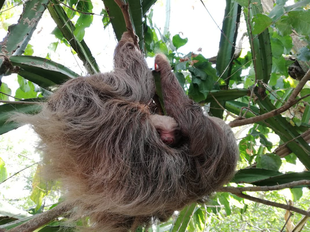 Sloth hanging in a tree with its head between its legs