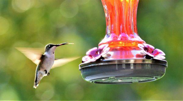 Hummingbird with tongue protruding thumbnail