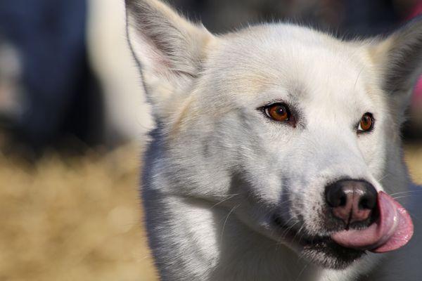 White Husky thumbnail