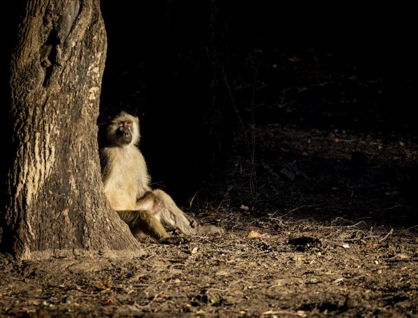 Baboon focused on the troop thumbnail