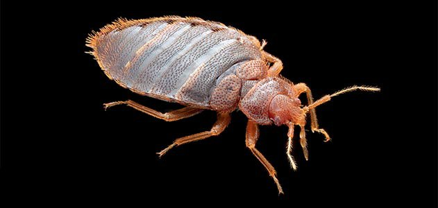 This adult male bedbug wants to suck your blood.