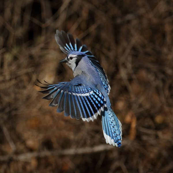 Blue Jay landing feathers in full color thumbnail