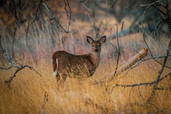 Little Deer thumbnail
