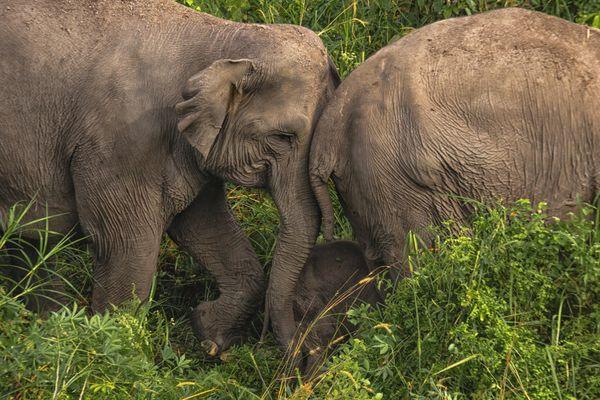 Endangered Sumatran elephants thumbnail