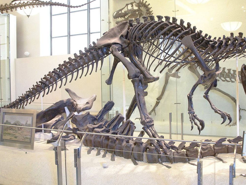 Skeletal mount of Allosaurus at the American Museum of Natural History, New York City
