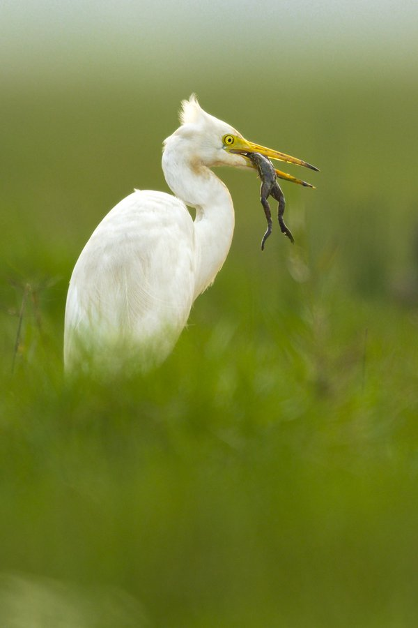 egret with frog in greenery thumbnail