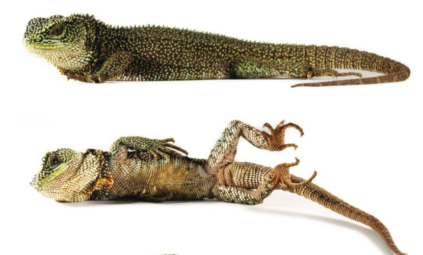 The newly discovered rough-scaled woodlizard has a more traditional dragonesque look. (Torres-Carvajal et al.)