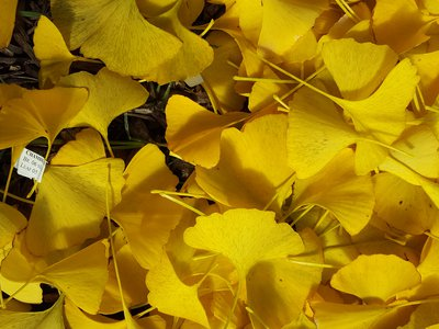 Ginkgo has survived three mass extinctions, including the one that killed the dinosaurs.