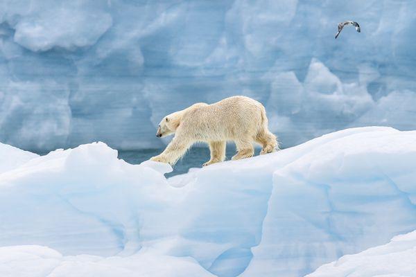 Polar bear on iceberg thumbnail