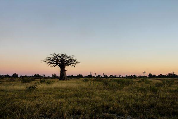 Lone Baobab thumbnail