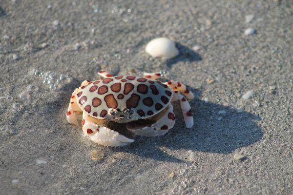 Calico crab on the beach thumbnail