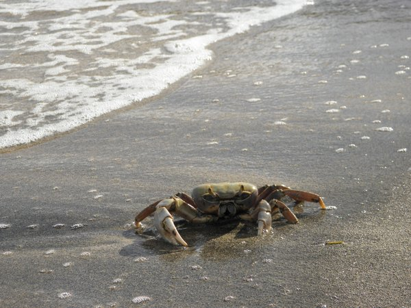 Blue Land Crab thumbnail