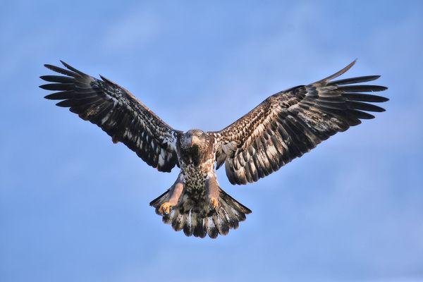 Juvenile Bald Eagle Preparing to Land thumbnail