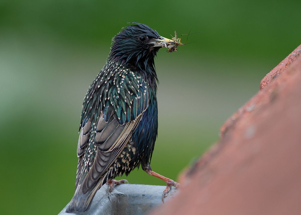 Adult common starling on roof