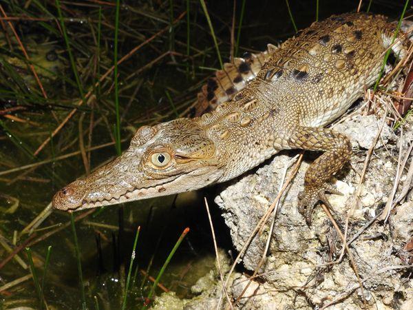 Young American Crocodile thumbnail