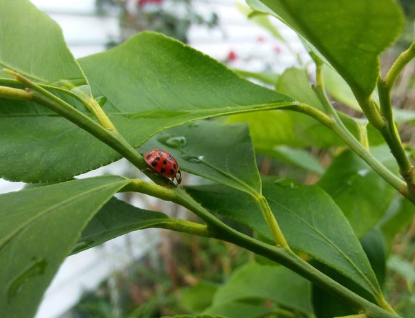 Ladybug thumbnail