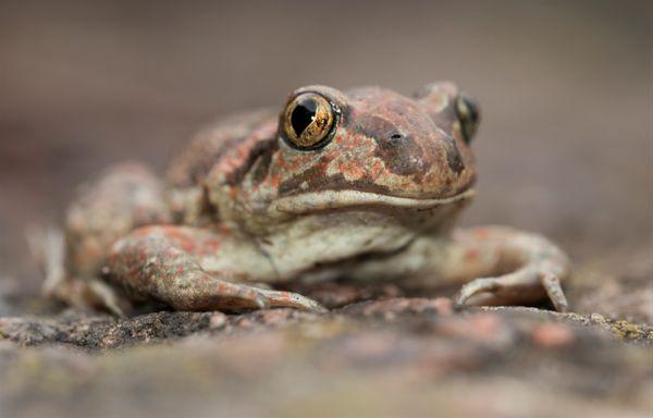 Garlic toad thumbnail