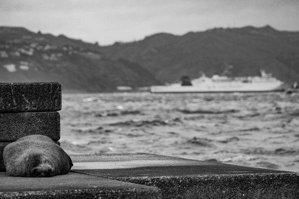 New Zealand Fur Seal in Wellington Harbour. thumbnail