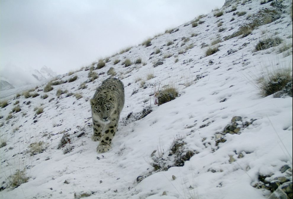 The Elusive Snow Leopard, Caught in a Camera Trap