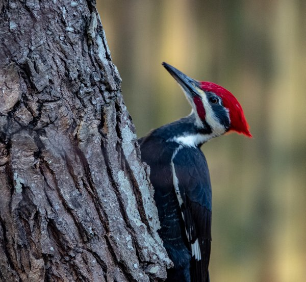 piliated Woodpecker thumbnail