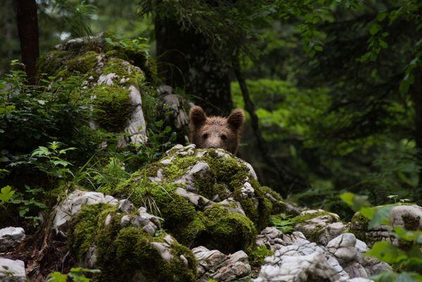 Slovenian bear thumbnail