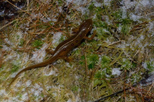 A newt in the snow thumbnail