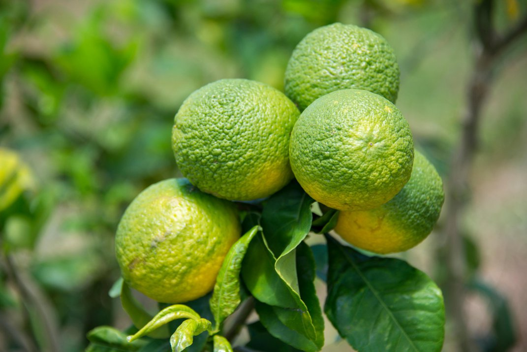 How the Australian Finger Lime Could Save American Citrus