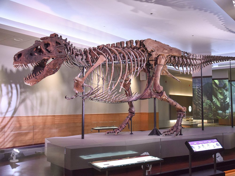 A photo of the Tyrannosaurus Rex specimen at the Field Museum of Natural History in Chicago, IL