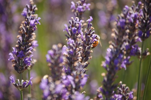 Bees in lavender thumbnail