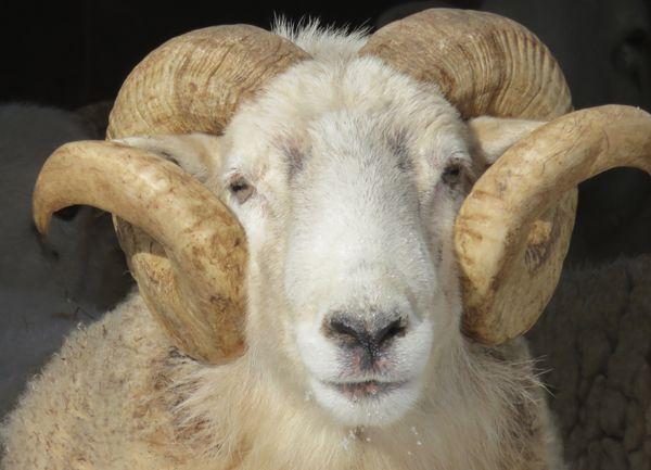Closeup of Ram in wintertime thumbnail