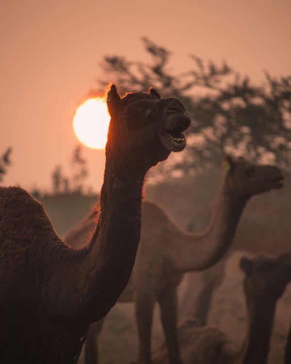 Camel Portrait with sunrise thumbnail