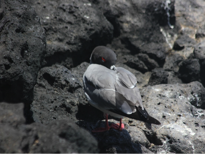 A nocturnal Swallow-tailed Gull sneaks in an afternoon nap, purposefully placing its beak atop its back and under its feathers to rest its neck and stay warm. (Matthew Williams)