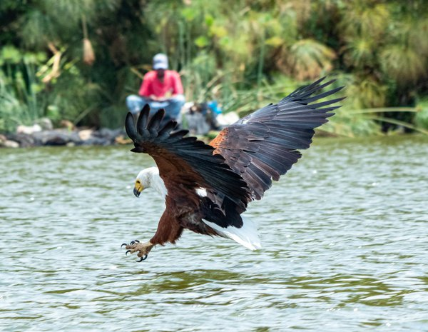A Fish Eagle hunting for breakfast thumbnail