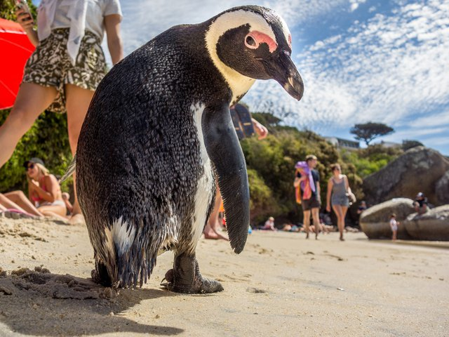 Single penguins will snag mates, and couples, both new and established, will start breeding around January or February.