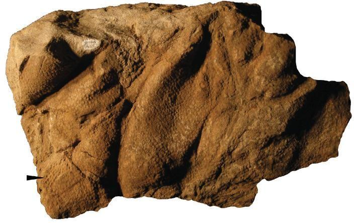 20110520083238hadrosaur-skin-impression.jpg