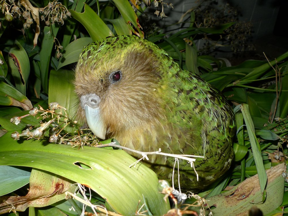 A close-up image of a kakapo. The bird has lime-green feathers, and a face that resembled an owl.