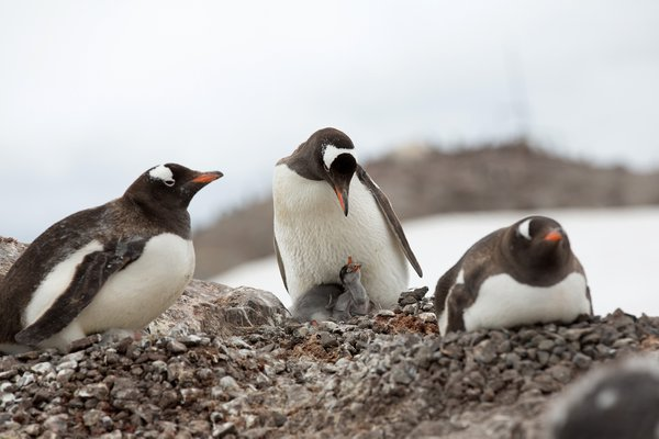 Gentoo chick help his parent with nest maintance  thumbnail