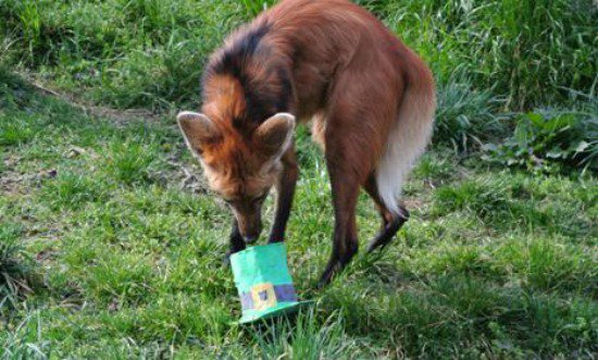A maned wolf enjoys a green treat for Saint Patrick's Day.