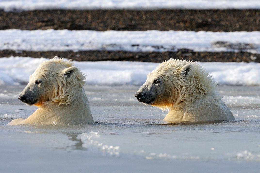The Politics of Viewing Polar Bears