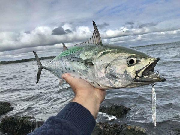 False Albacore at the Jersey shore thumbnail