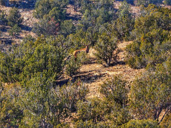 Stoic bull elk across canyon thumbnail