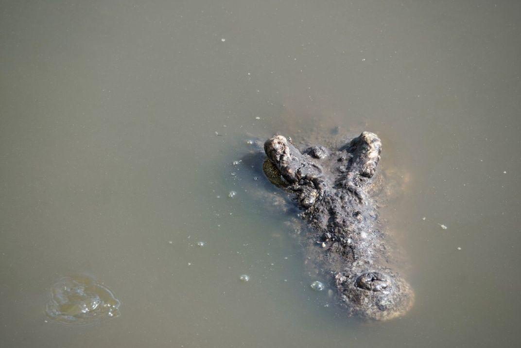 The Quest to Preserve the Last of Castro's Crocodiles