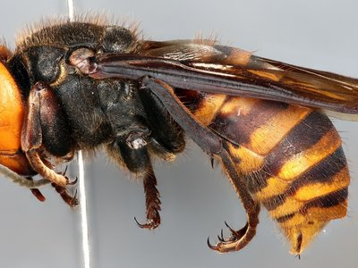 The Asian Giant Hornet, Vespa mandarinia, can grow up to two inches long and is a species not native to North America. The National Insect Collection, co-curated by the Smithsonian National Museum of Natural History and the United States Department of Agriculture (USDA), houses one of the first specimens collected in North America (Michael Gates, USDA).
