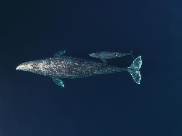 Cow/calf Gray Whales thumbnail