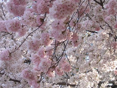 This spring, think about looking for cherry blossoms in unexpected places.