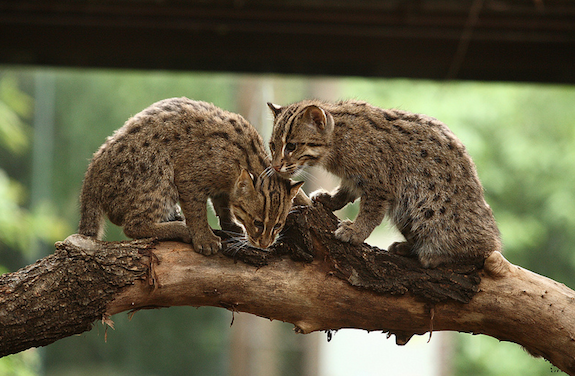 Baby Fishing Cats Up the Zoo's Cute Factor