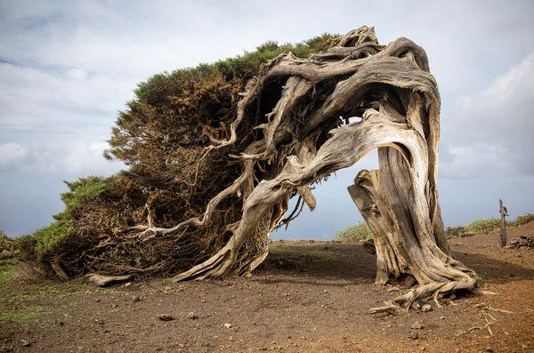 The Sabina Tree. El Hierro. Canary Islands. Spain thumbnail